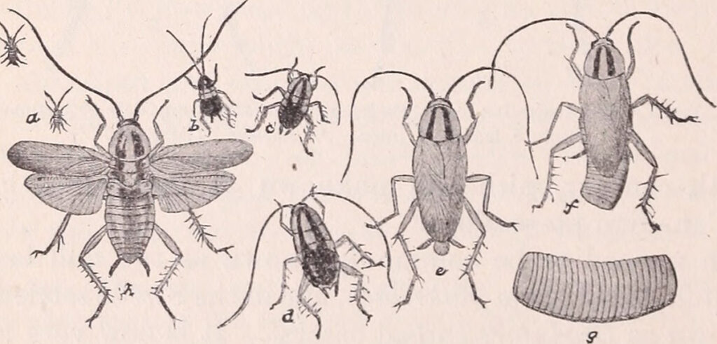 A diagram of the different stages of a cockroach's lifecycle, 1908