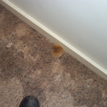 Image by Pete Birkinshaw - a mushroom growing on a damp carpet near a wall